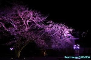 小田原城桜のライトアップ
